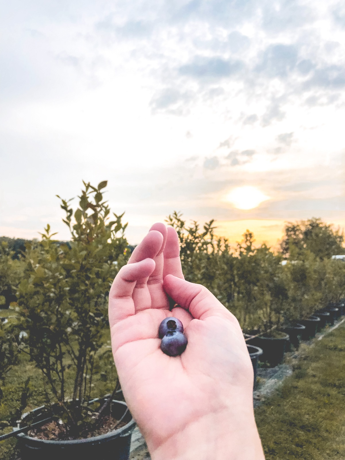 The day I went to a blueberry farm and picked fresh blueberries for the firsttime
